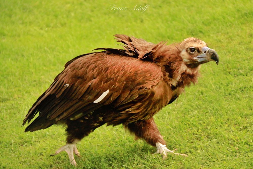 Photo in Animal #vulture #falcon #eagle #castle #waldreichs #flying