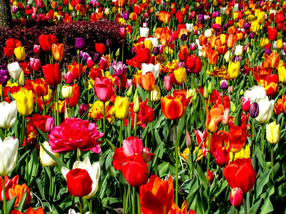Photo in Nature #spring #flowers #tulips