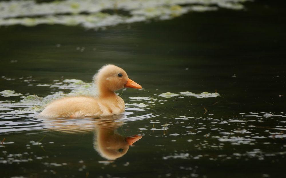 Photo in Animal #duck #sweet #yellow #baby #eend #lief #nature #happy