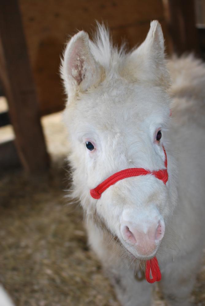 Photo in Animal #mini mule #baby mule #white mule