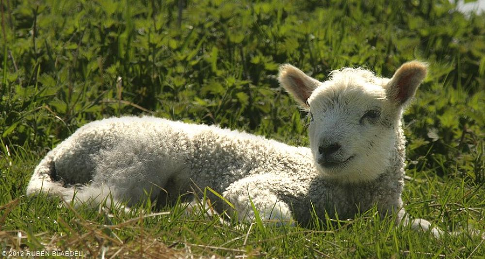 Photo in Animal #lamb #sheep #easter