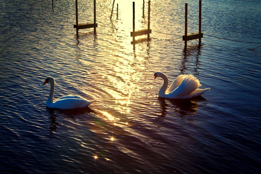 Photo in Random #sunset #sun #reflection #swan #shore #water #sea