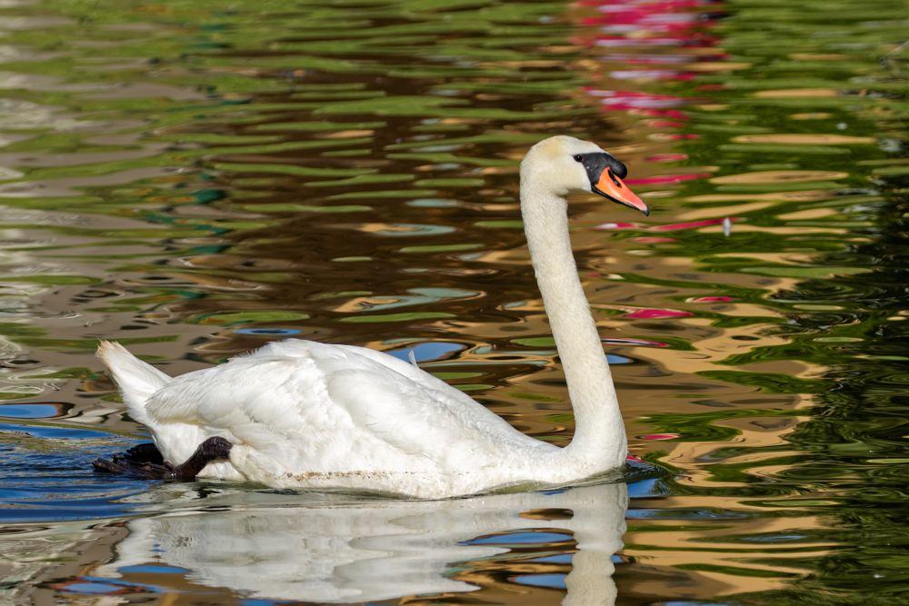 Photo in Animal #bird #swan #lake