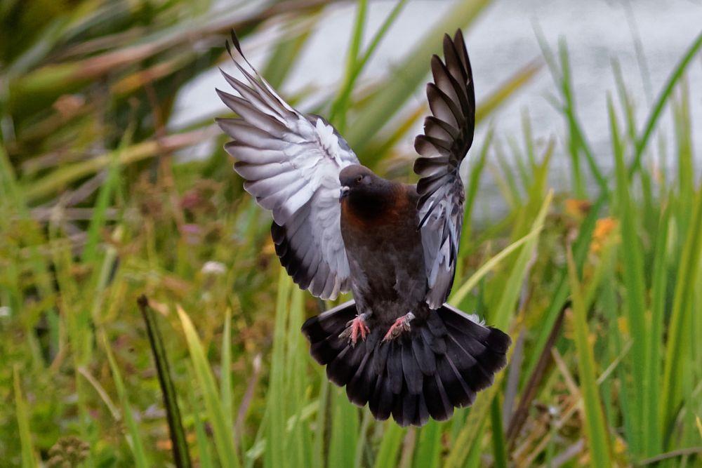 Photo in Animal #bird #pigeon #wings