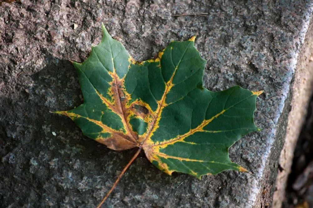 Photo in Random #leaf #maple