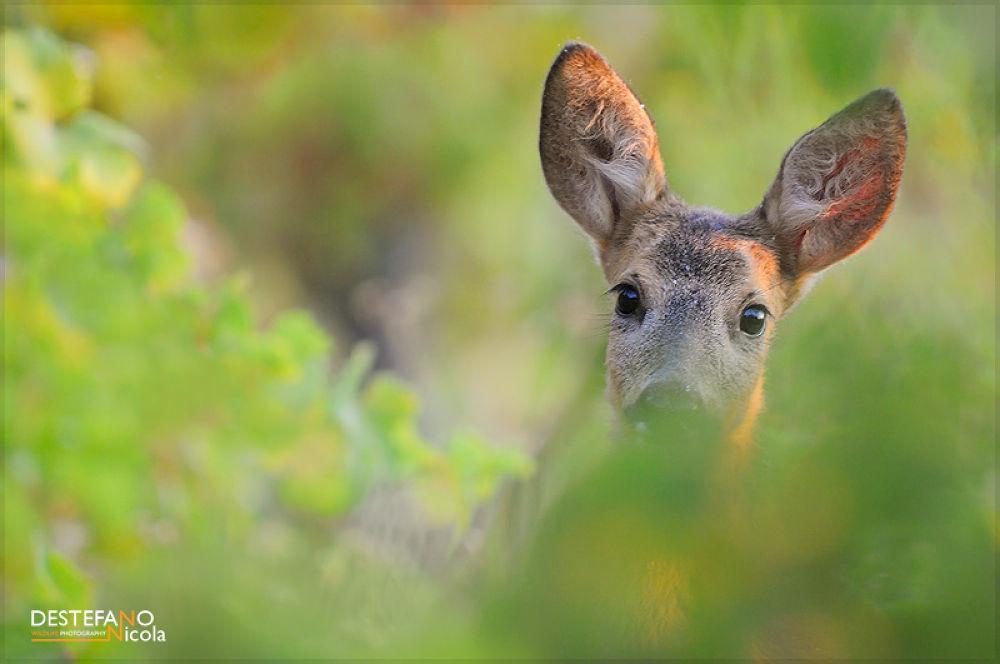Photo in Animal #roe deer #capriolo #capreolus capreolus #italy #piedmont #animal #wildlife #mammal