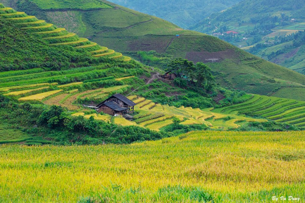 Photo in Landscape #rice #field #blossom #charm #golden