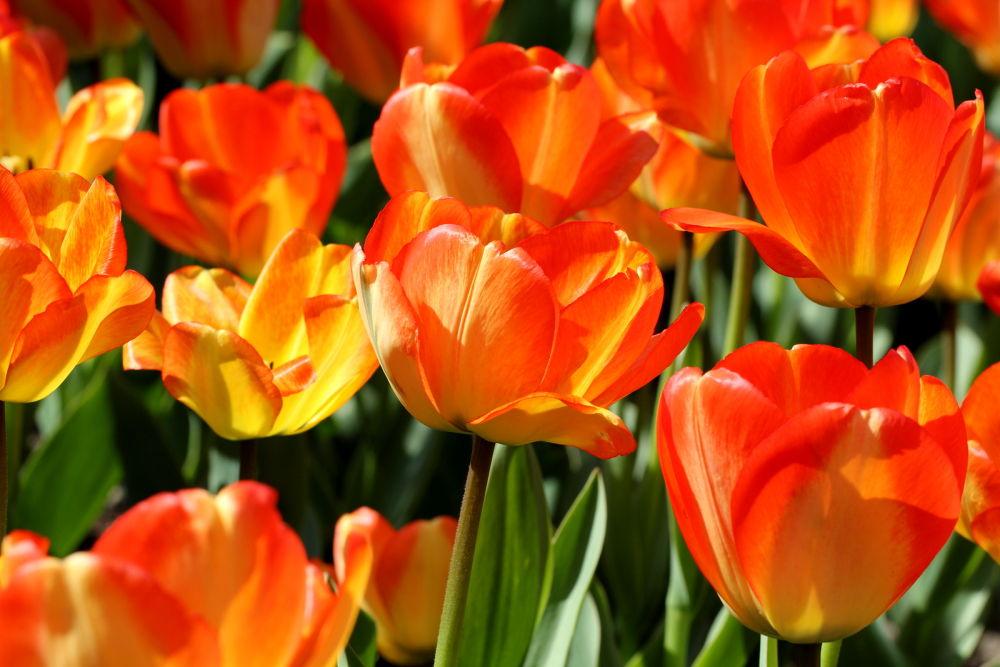 Photo in Random #flower #tulip #close up #tulipan