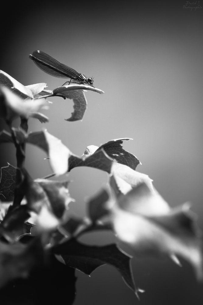 Photo in Macro #dragonfly #nature #macro #blackandwhite #black and white #b&w