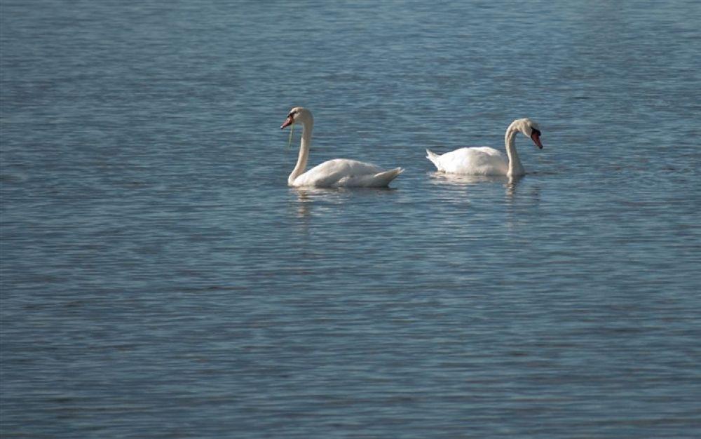Photo in Random #swans