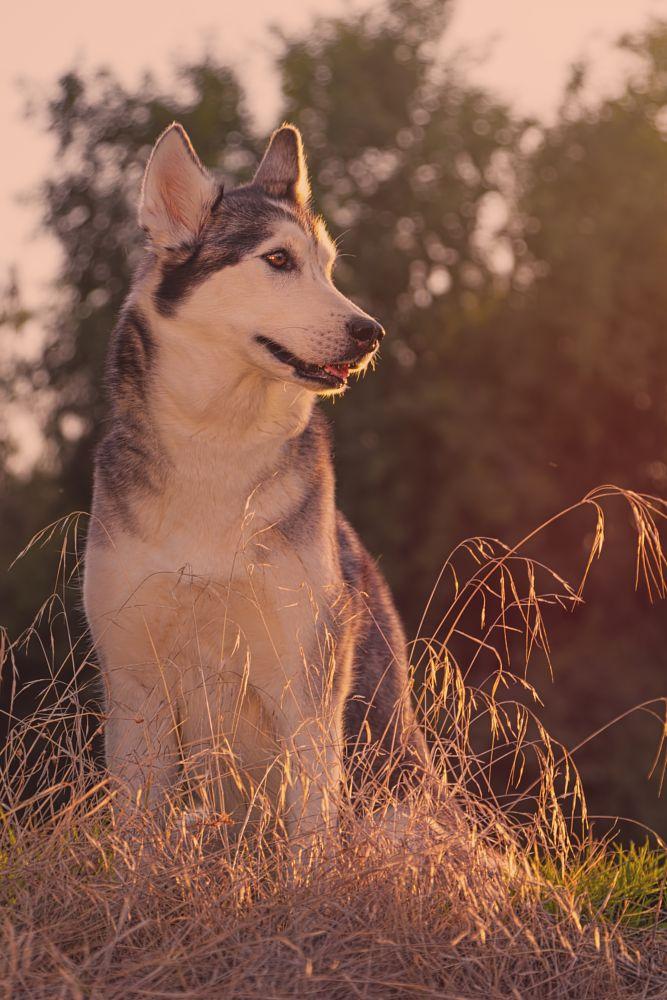 Photo in Animal #animal #animals #canine #dog #dogs #pet #pets #husky #siberian husky #aurora #portrait #close up #outdoors #outside #nature #natural light #evening #golden hour #sunset #sundown