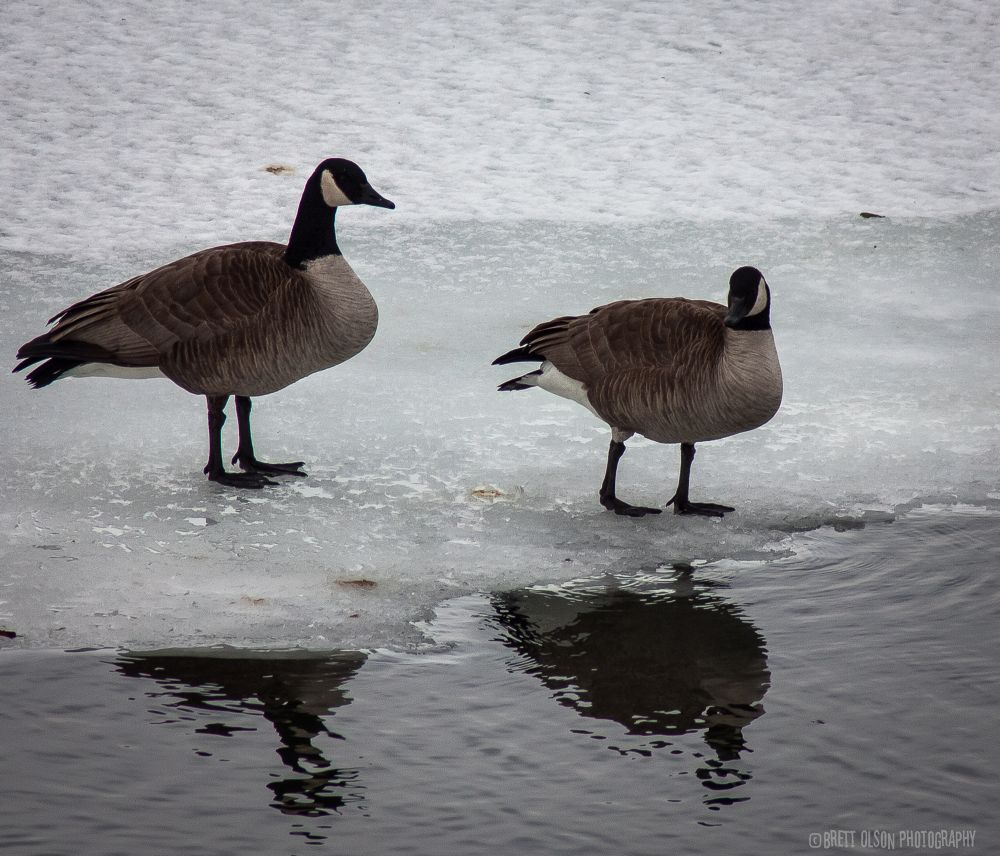 Photo in Animal #goose #geese #river