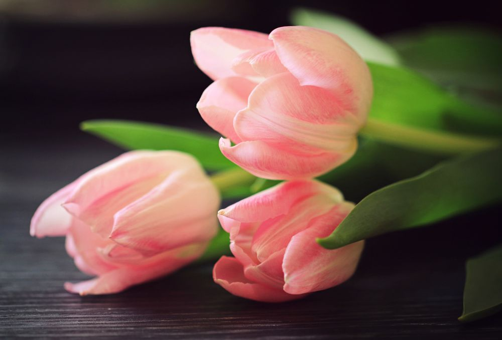 Photo in Still Life #tulips #flower #floral #pink #still life #tabletop #indoor #plant