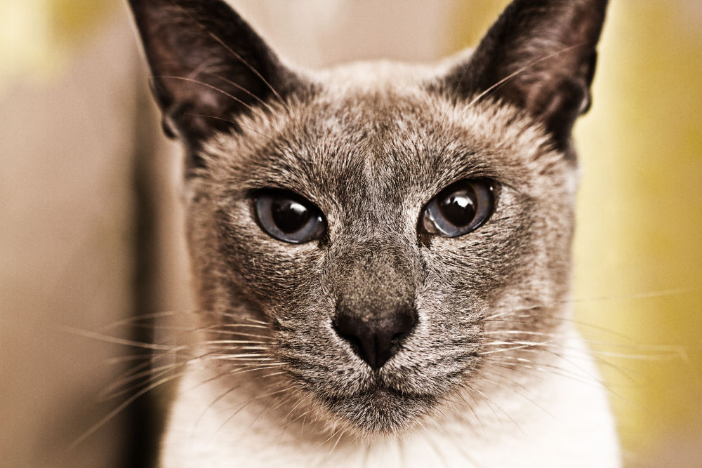 Photo in Portrait #grey #white #point #blue #cat #cañón #cute #portrait #nose #sigma #eos #blue eyes #siamese #7d #whiskers #ears #furry #70mm #ypa2013