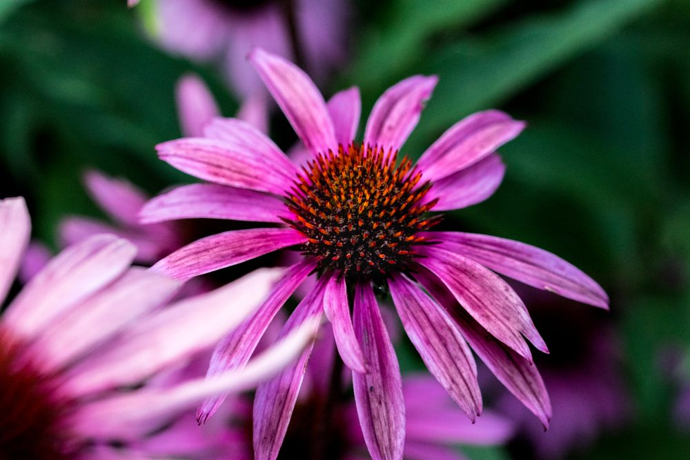 Photo in Nature #pink cone flower #nature #flower #summer #pink