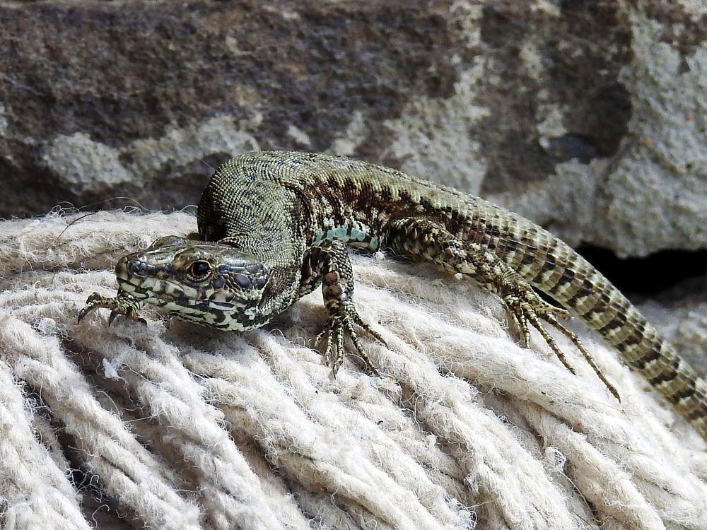 Photo in Animal #lizard #curious #posing #close up