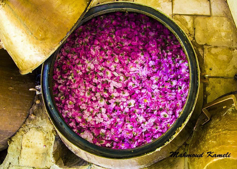 Photo in Random #flower #water #ghamsar #kashan #iran #mahmoud #kameli #pink