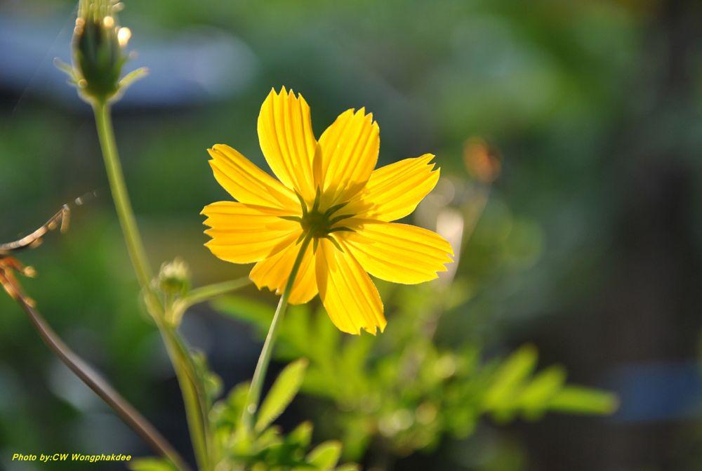 Photo in Macro #flower #yeloowflower #yellow #macro #nature #dokmai