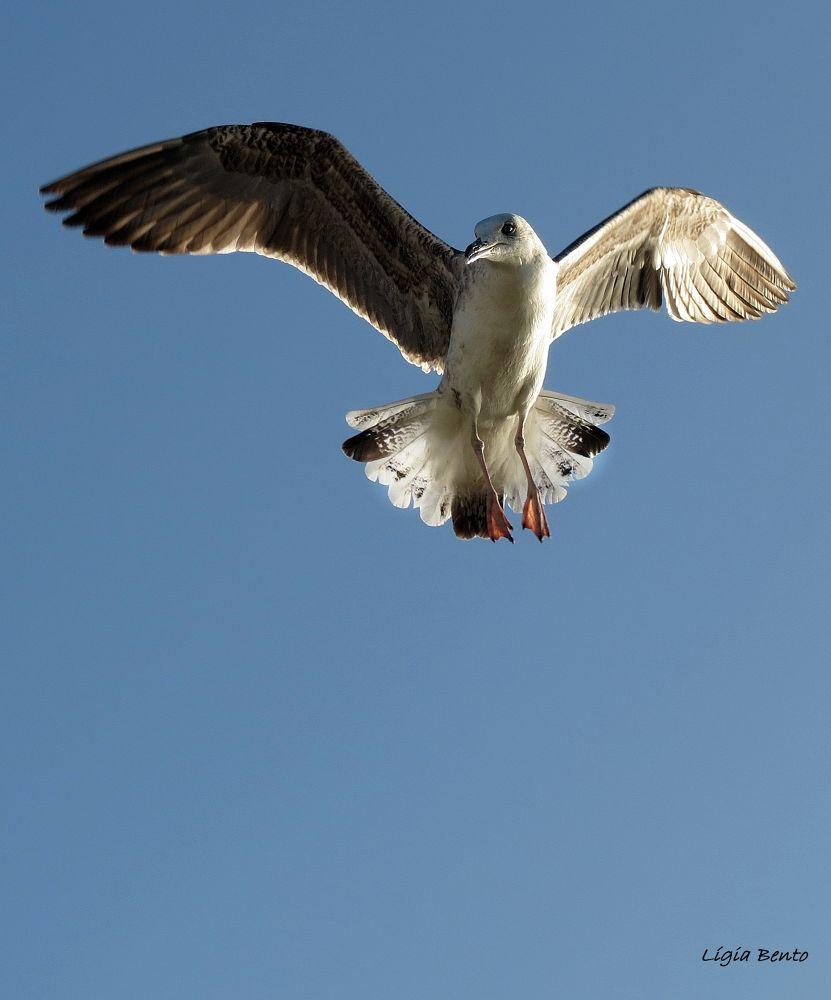 Photo in Animal #seagul #gaivota #blue #azul