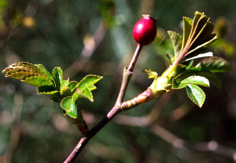 Photo in Macro #macro #nature #trees #leaves #berries