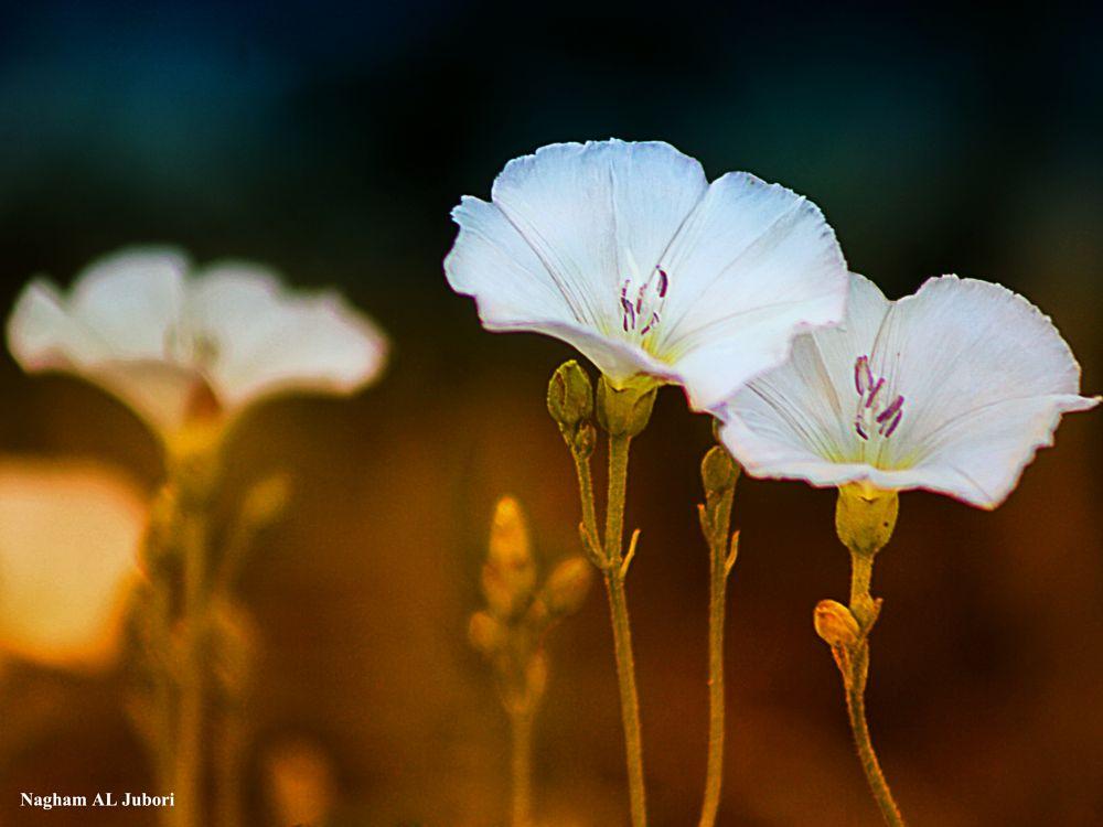 Photo in Still Life #flower #flowers #three #white #butiful #canon
