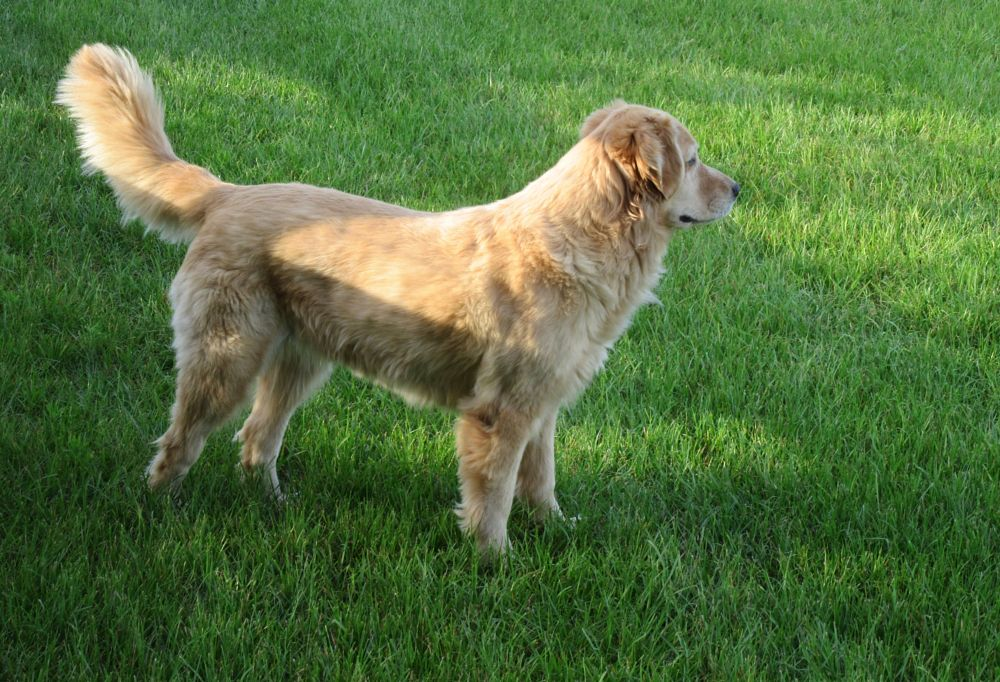 Photo in Animal #golden #dog #golden retriever