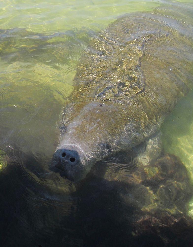 Photo in Animal #animal #tampa bay #florida #manatee