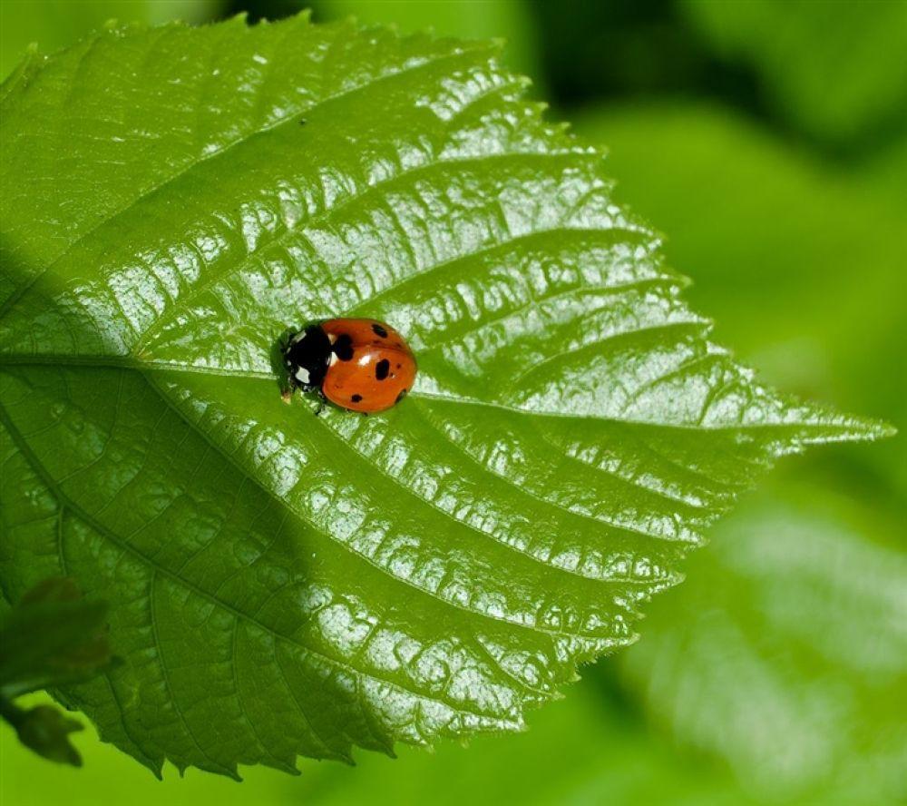 Photo in Random #nyckelpiga. #ladybug. #coccinella #septempunctata