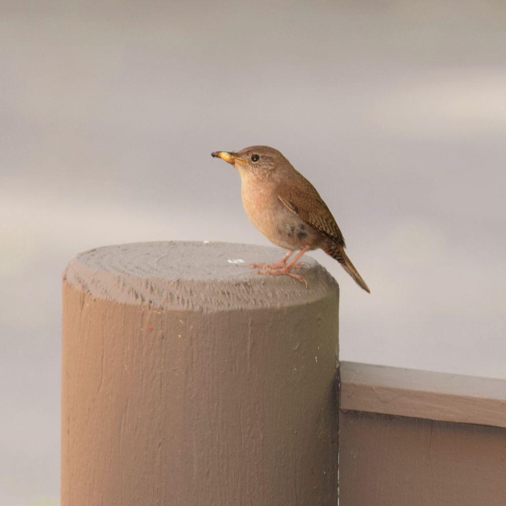 Photo in Nature #bird #birding #nature #wildlife #animal #brown creeper