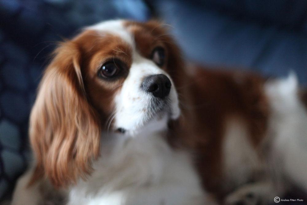 Photo in Animal #byron #dog #perro #cane #ckcs #cavalier #king #charles #spaniel #cavalierking #cavalierkingcharlespaniel #ritratto #andreapitteriph