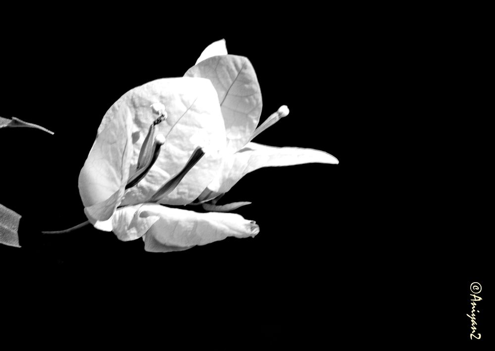 Photo in Black and White #bougainvillea #bugambilia #flowers in back and white