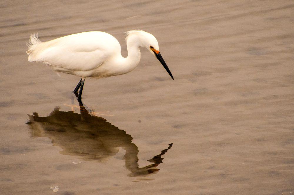 Photo in Nature #great egret #bird #animal #nature