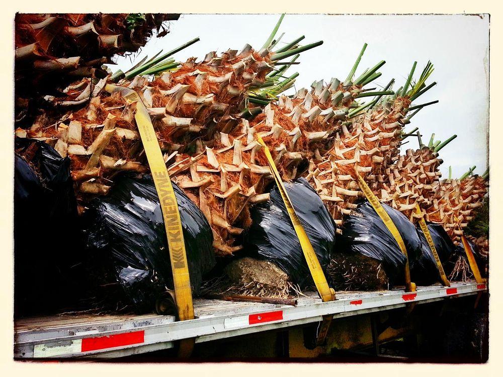 Photo in Landscape #sabal palms