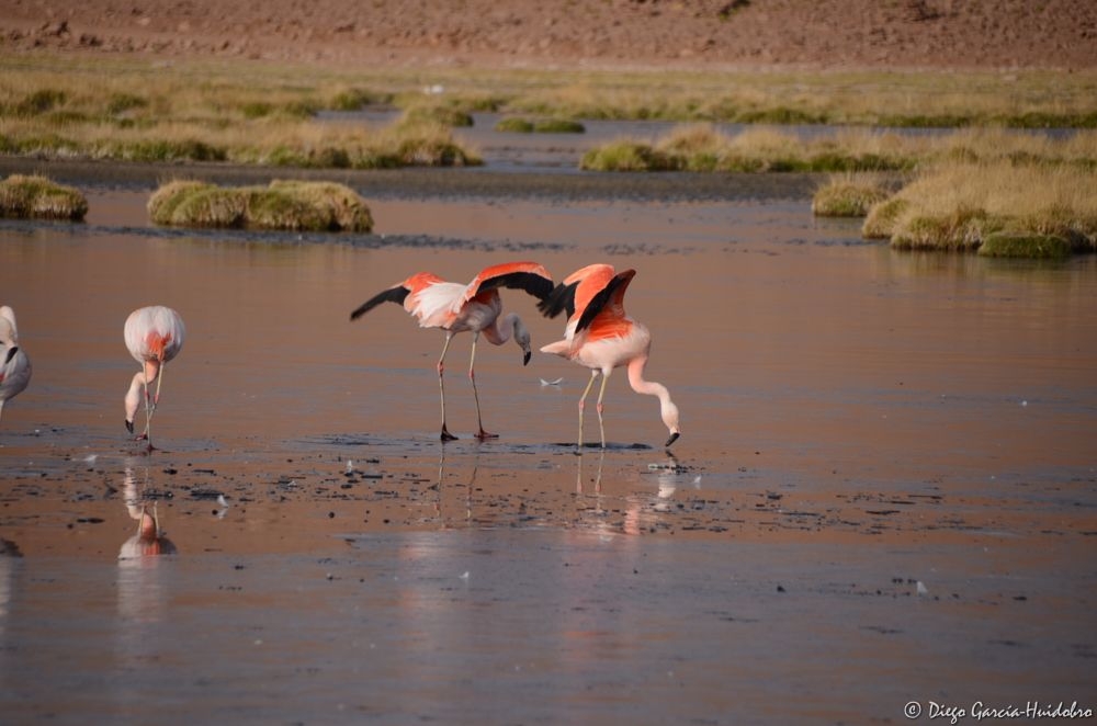Photo in Animal #flamencos #bird #chile