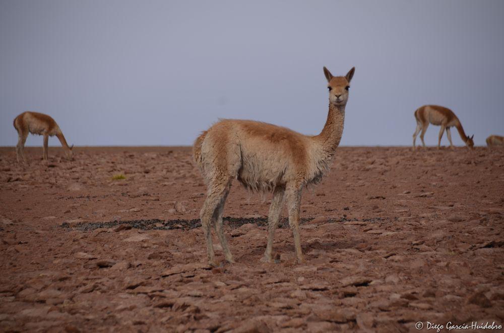 Photo in Animal #llama #animal #chile