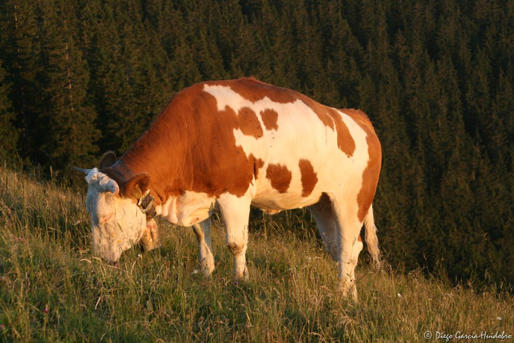 Photo in Animal #cow #animal