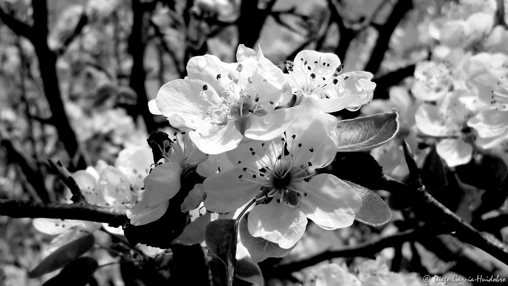Photo in Black and White #flower #spring