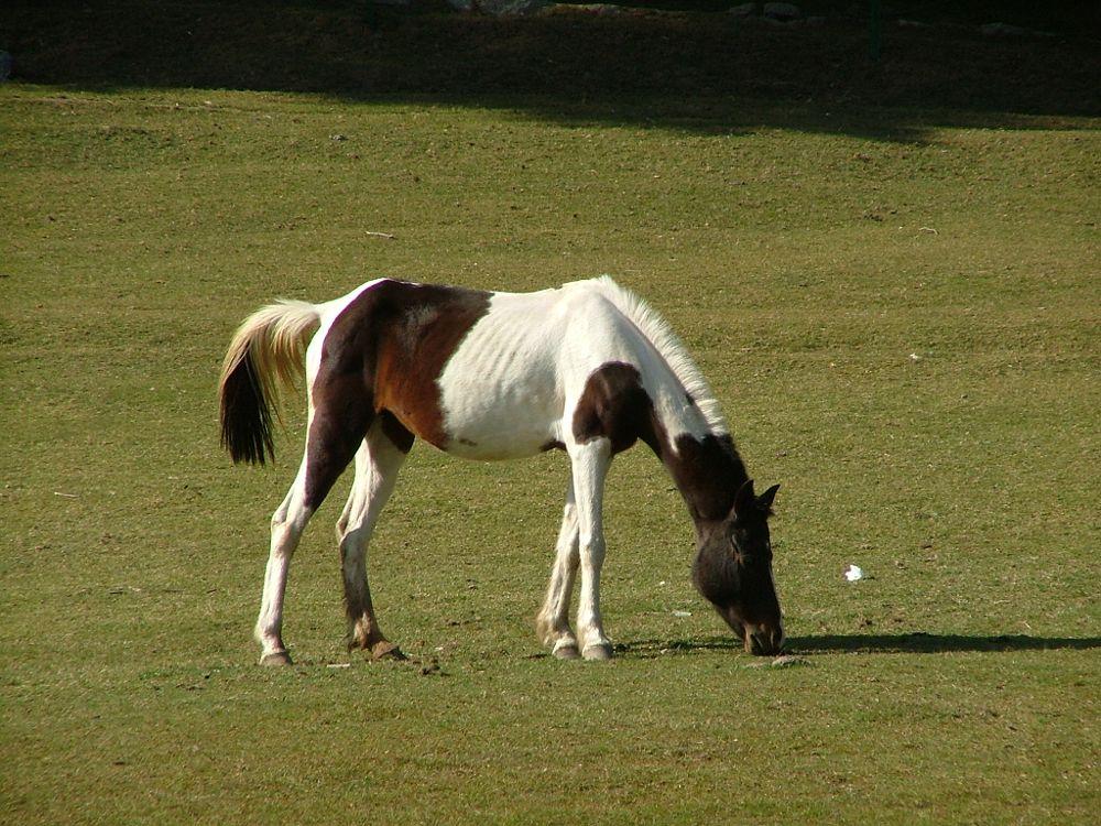 Photo in Animal #horse #khaziar #himachal pradesh