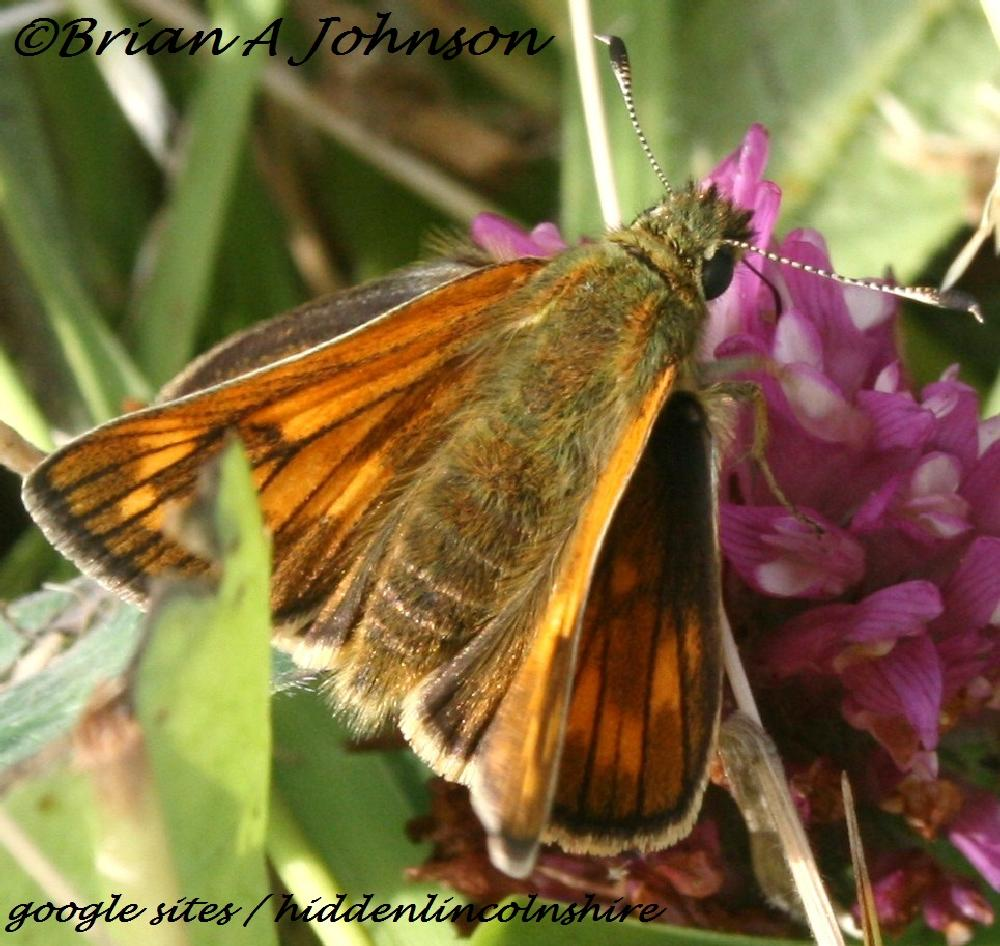 Photo in Nature #skipper #hiddenlincolnshire #butterfly