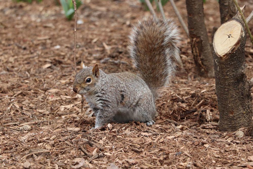 Photo in Animal #squirrel #new york #newyork #nyc #animal #animals #nature #wildlife #city #cute #wildlifephotography
