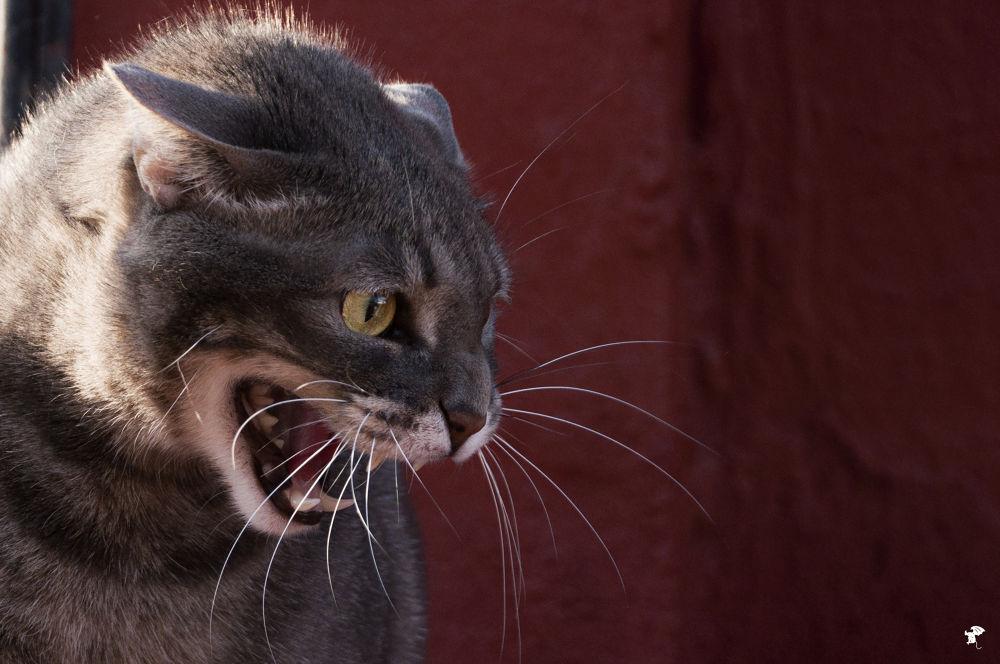 Photo in Random #boca #mirada #gato #dientes #colmillos #felino
