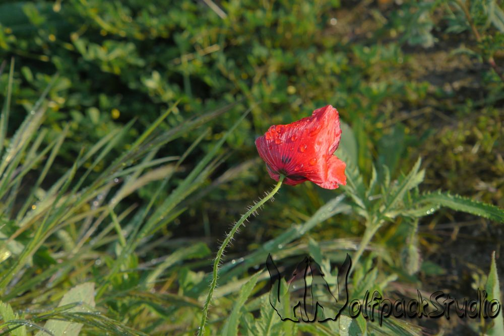 Photo in Nature #poppy #afterrain #spring #springcontest