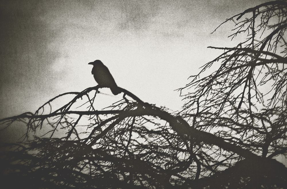 Photo in Black and White #monochrome #black and white #bird #crow #dusk #abstract #silhouette #japan #tree #sky
