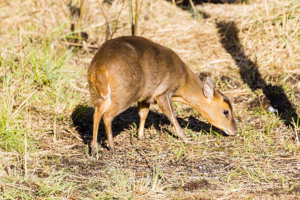 Photo in Animal #deer #muntjac #cute #grazing #nature #wildlife