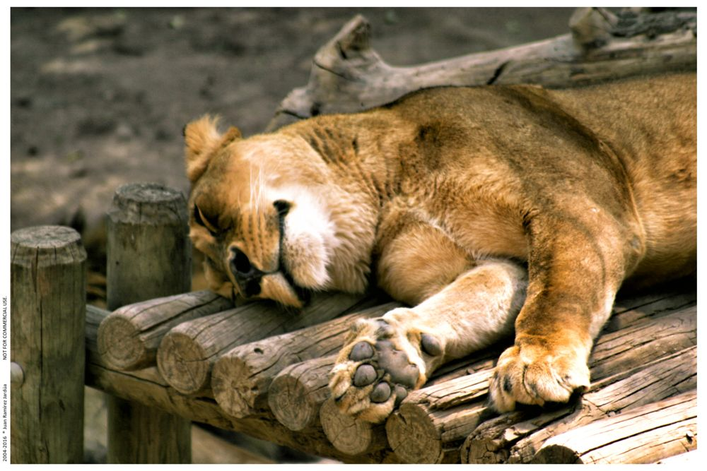 Photo in Animal #lion #sleep