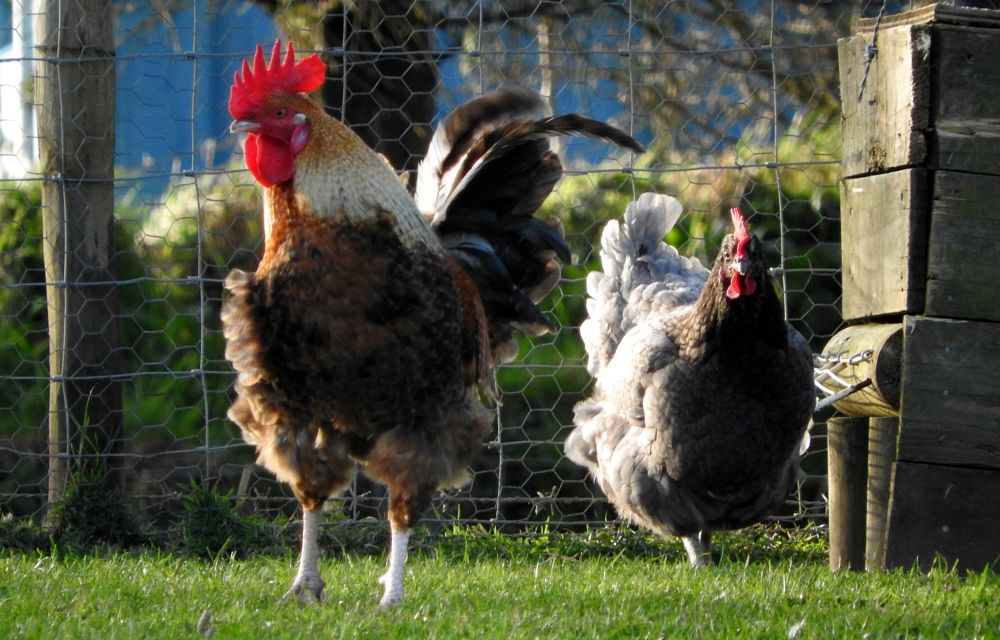 Photo in Nature #farm poultry chickens roost