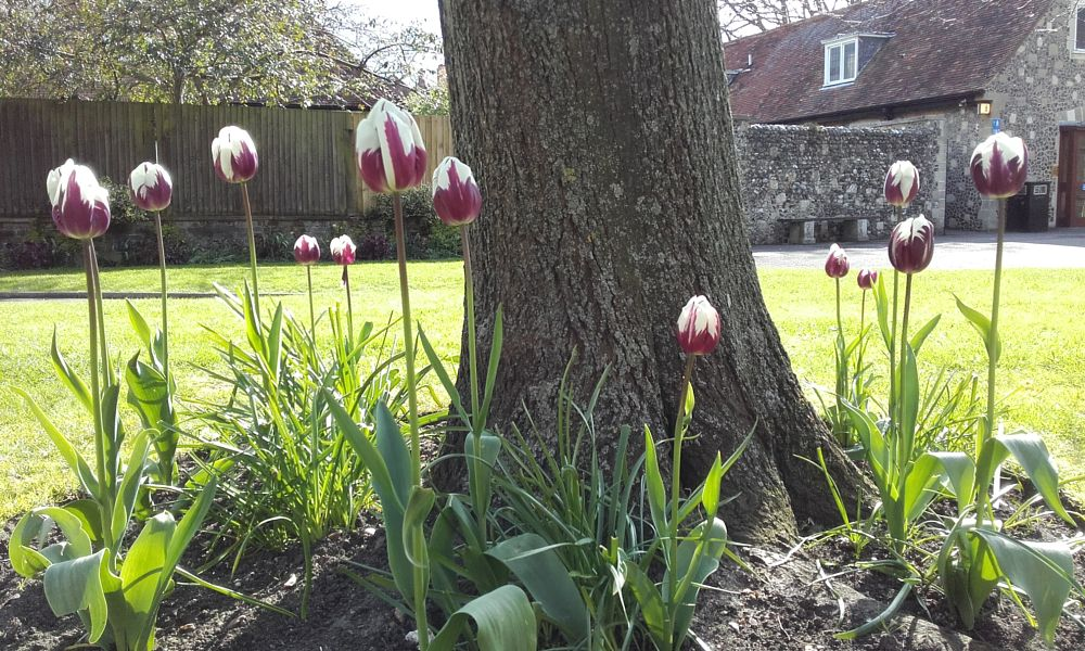 Photo in Nature #tulips #flowers #tree #garden #canterbury #canterbury cathedral precincts #spring