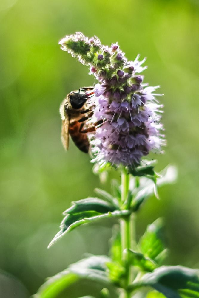 Photo in Nature #bee #bookeh #green #plant #leaf #feeding #purple #lavender