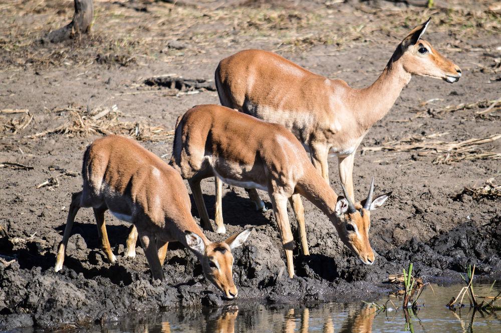 Photo in Animal #impala #three #buck #drinking #water hole