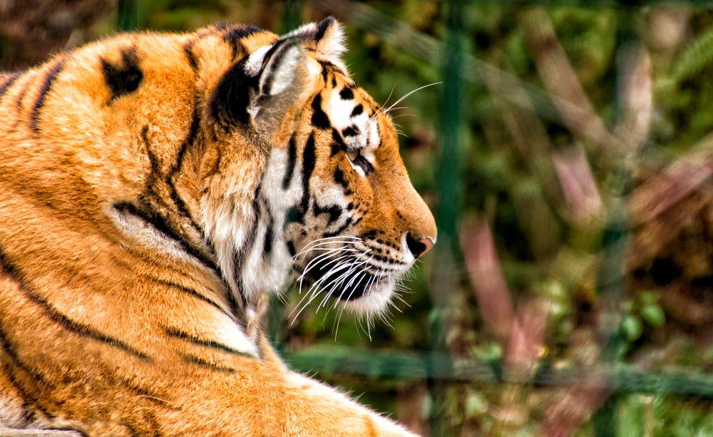 Photo in Animal #tiger #zoo #animal #big cats #close up